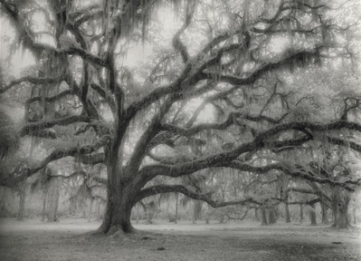 Black & White Ancient Oak by Harriet Blum