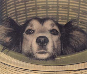 Ginger in Laundry Basket by Harriet Blum