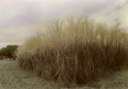 Cane Field by Harriet Blum