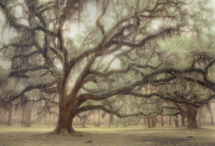 Ancient Oak by Harriet Blum