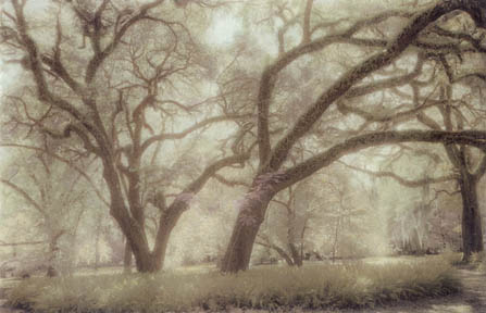 Plantation Oaks by Harriet Blum